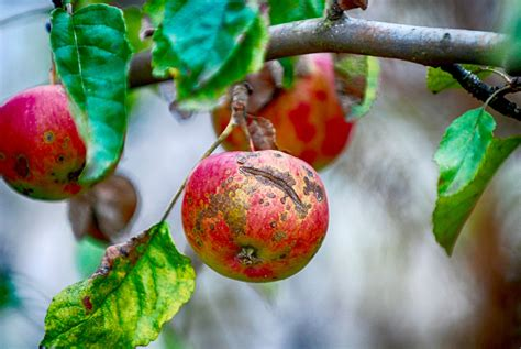 Apple Scab Disease and How to Identify and Prevent It