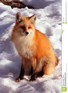 Red Fox Winter