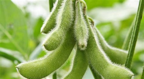 cuisine du monde soja plantation entretien et récolte