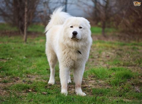 Great Pyrenees Non Shedding by 100 Great Pyrenees Non Shedding Should You Or