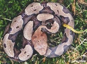 Juvenile N. Copperhead (Agkistrodon contortrix mokasen) #2 ...