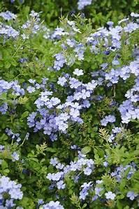 Bodendecker Blaue Blüten : 192 besten blaue blumen bilder auf pinterest in 2018 blumen pflanzen sch ne blumen und ~ Frokenaadalensverden.com Haus und Dekorationen