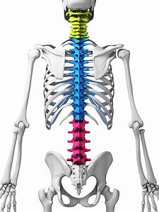 Bodyman Spine Thorasic  Cervical  Lumbar  Sacrum Color