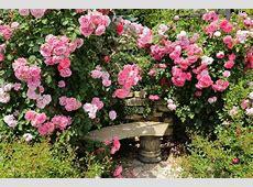 Climbing or Rambler Roses for my Garden?