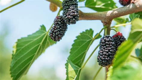 Iesaka eksperte: seši neparasti, bet augļus dodoši augi ...