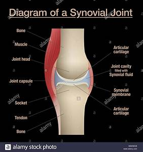 Synovial Joint Diagram  Labeled Anatomy Chart With Two