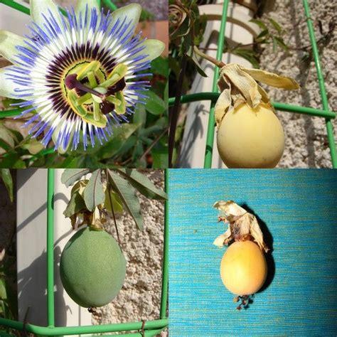 plante grimpante passiflore passiflore planter