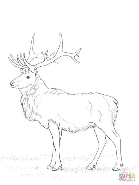 buck deer coloring coloring pages