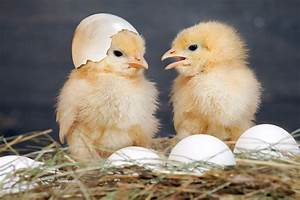 Physicists actually solved the chicken or egg conundrum  Chick