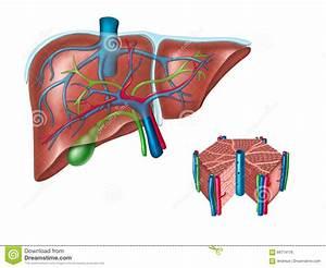 Liver Anatomy Stock Illustration  Image Of Anatomical