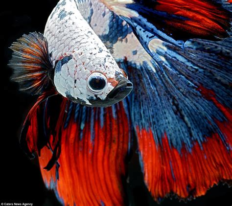 siamese fighting fish photographer visarute angkatavanich s pictures show siamese fighting fish floating daily