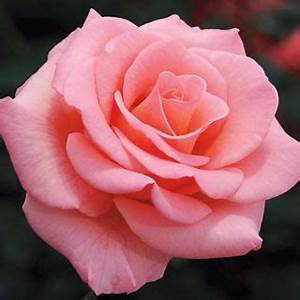Langage Des Fleurs Pivoine : flawless flora tea rose roses roses pinterest ~ Melissatoandfro.com Idées de Décoration