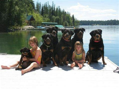 rottweiler mix www imgkid the image kid has it rottweiler with my other baby kid
