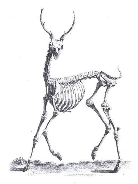 animal deer skeleton  love pinterest skeletons
