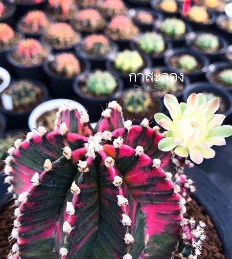 Pin by Paphawarin Koedaolan on แคคตัส | Cactus flower, Cactus garden, Cactus