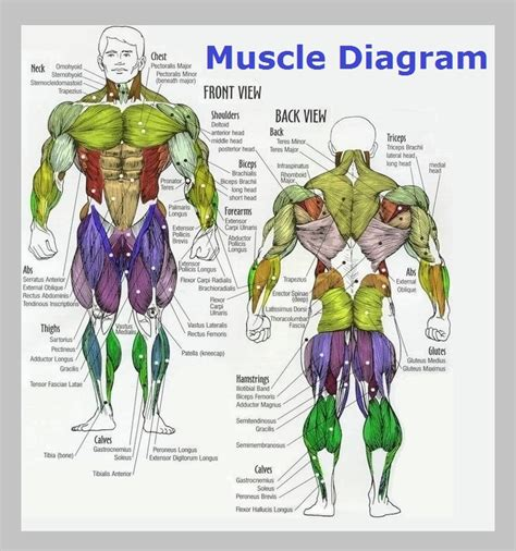 Illustration about deltoids, health, body, male, build, names, frontal, back, fitness, background muscles diagram front and back below you'll find several different muscles diagrams. Human Muscles Diagram : human-leg-muscles-diagram | Anatomy for Artists ... - The muscles that ...