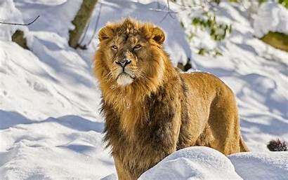 Lion Animal Cool Lions Wallpapers Desktop Ecran