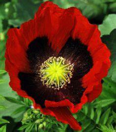 Poppies On Pinterest Tower Of London Poppy Flowers And