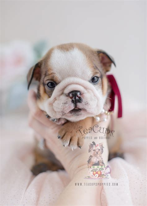 adorable english bulldog puppies  sale teacups