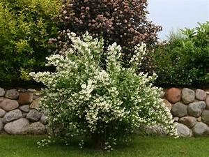 Jasmin Pflanze Winterhart : pfeifenstrauch falscher jasmin duftjasmin 39 erectus 39 philadelphus 39 erectus 39 geranium ~ Frokenaadalensverden.com Haus und Dekorationen