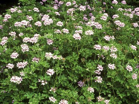fragrant geranium scented geraniums diy