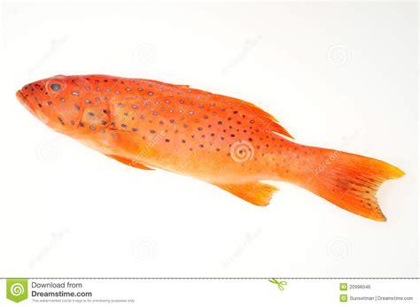 grouper fish barsch rote fische tandbaars rode vissen