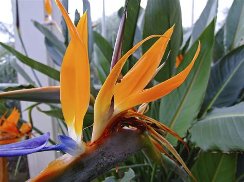 bird of paradise plant how to grow bird of paradise indoors