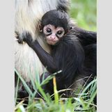 Baby Spider Monkey Pictures | 400 x 547 jpeg 87kB