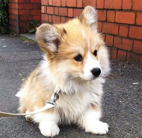 25 Best Ideas About Fluffy Puppies On Pinterest