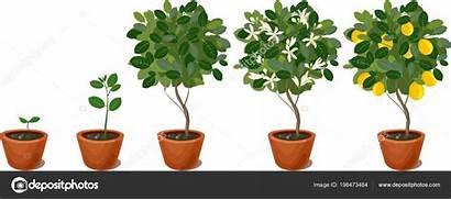 Lemon Tree Cycle Plant Growing Vector Clip