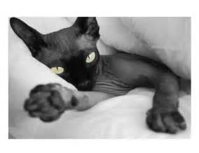 black sphynx cat hairless sphynx cat breeds picture