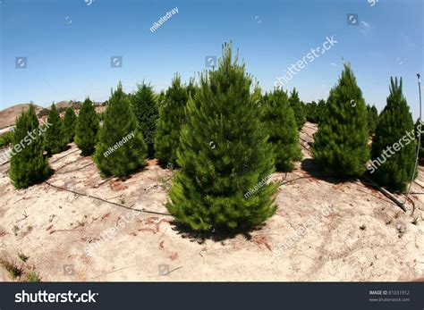 a christmas tree farm in southern california growing beautiful green pine trees for your