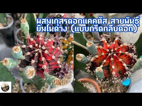 วิธีผสมเกสร ดอกแคคตัสต้น ยิมโนคาไลเซียมด่าง แบบกรีดกลีบดอก/CactusAgain - YouTube