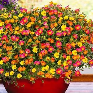 Blumen Für Südbalkon : trio portulakr schen pazzaz pflanzen f r s dbalkon ~ Watch28wear.com Haus und Dekorationen