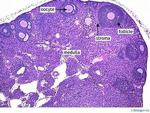 Slide Of Ovary