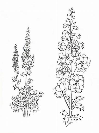 Larkspur Flower Coloring Pages Tattoo Flowers Drawing