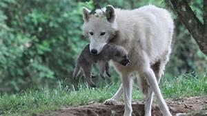 Bébé Loup Blanc : naissance de 5 b b s loups arctiques plan te sauvage ~ Farleysfitness.com Idées de Décoration