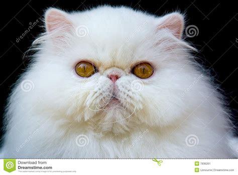 white copper eye cat black velvet stock image image 7936261