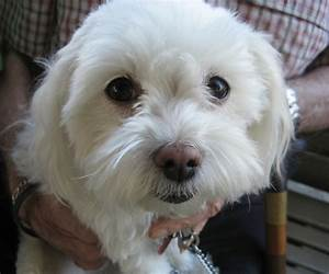 Small White Dog Breeds Pets Dog Breeds Puppies : Five Cute ...