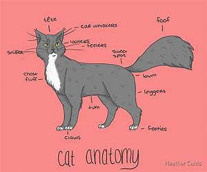 U0026quot Cat Anatomy U0026quot  Posters By Heather Cahts