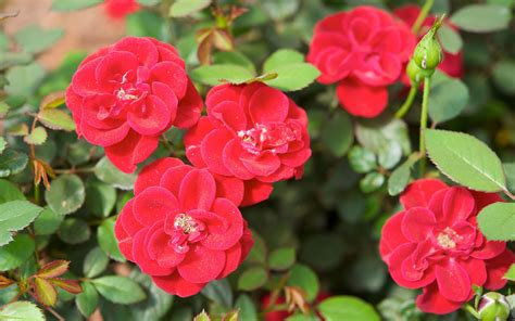 easy care roses choose easy care roses for mother s day