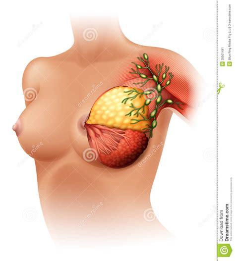 Breast Anatomy Stock Vector Illustration Of Lactation