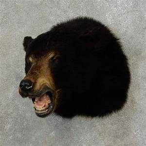 Black Bear Shoulder Mount For Sale #17176 - The Taxidermy ...