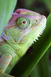 Animal That Changes Color Chameleon