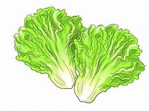 Best Lettuce Clipart #17486 - Clipartion.com