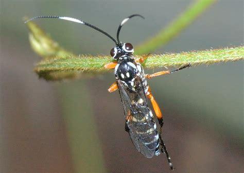 black banded ichneumon wasp lissonota sp
