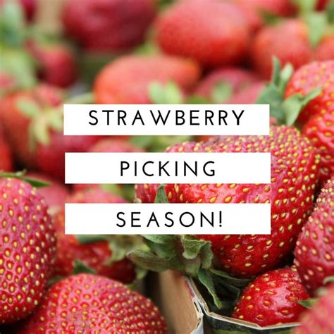 when is strawberry season strawberry picking in quebec ask mama moe