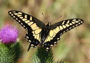 Garden Centers Maine by Swallowtail Butterflies Black Swallowtails Tiger