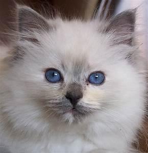 Ragdoll Cute Ca... Cute Cats