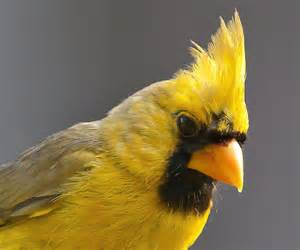 Image result for images of yellow cardinal
